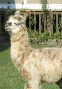 argentine-llama-llynda